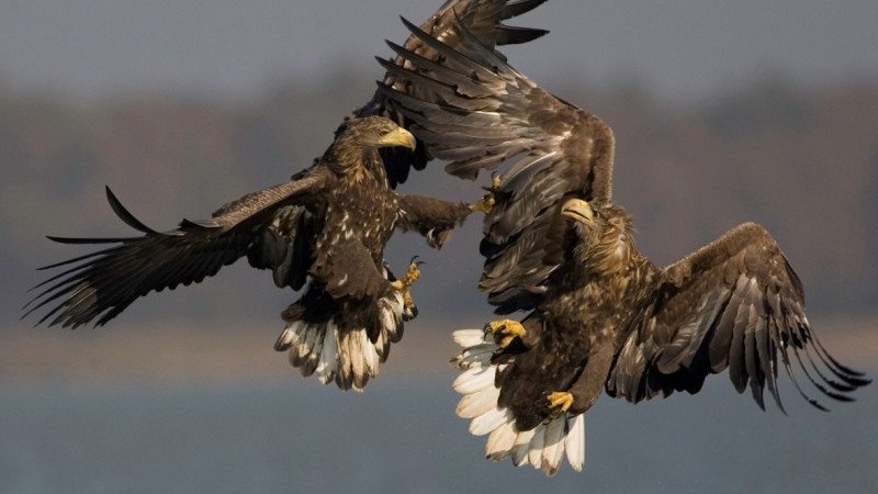 White-tailed Eagle Transnational conservation strategy First activities started!