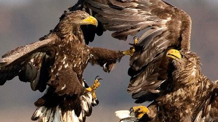 750 White-tailed Eagles counted!