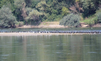 Persina Nature Park - Birds on a sandbank in the middle of the Danube River
