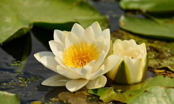 Christian Mititelu / Danube Delta Biosphere Reserve Authority - Water Lily