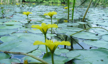 Persina Nature Park - Yellow floating heart